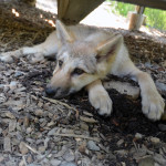 Alawa the wolf pup
