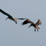 Yes, the pelicans. We saw these two a lot. I wonder whether pelicans mate for life?