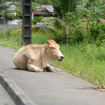 cow on the sidewalk