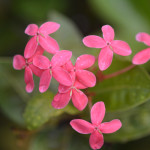 Tiny pink flowers